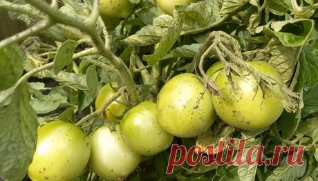8 томатов для начинающих, которые легко выращивать, не требуют ухода, сами легко растут и дают при этом много урожая   Я люблю цветы   Яндекс Дзен
