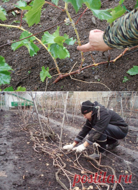 Обрезка и укладка винограда перед зимой