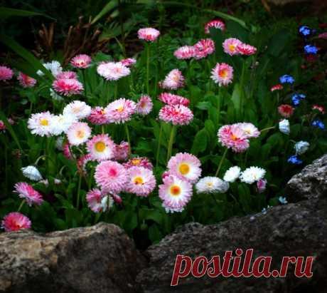 Простота и привлекательность! Маргаритки - цветы Пресвятой Богородицы! 🌺️🌼🌸