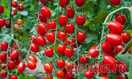 ЛИСТВА У ТОМАТОВ - УДАЛЯТЬ ИЛИ НЕТ? ВСЕ О ПАСЫНКОВАНИИ ОВОЩЕЙ. Листва у томатов - удалять или нет? Все о пасынковании овощей Листья, как и стебель, плоды и корень есть части целого растения. И количество листьев регулирует само растение для более нормального развития. Нельзя бездумно вырезать листья, это мастерская фотосинтеза и спасение растений от жары и других неблагоприятных условий. Бытует мнение: зеленые плоды могут взять на себя эту функцию, но это лишь отчасти. Так что - совсем не удал