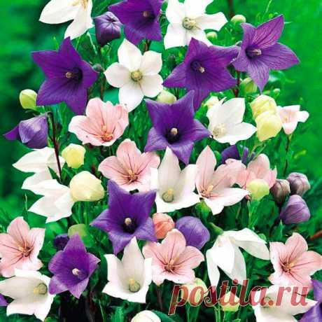 Многолетний садовый цветок Ширококолокольчик (Platycodon). Семейство: колокольчиковые (Campanulaceae)  Многолетнее травянистое растение с утолщенным стержневым корнем и широколокольчатыми цветками диаметром до 8 см. Цветет в июле - августе.  Основные виды Единственный представитель данного рода - ш.крупноцветковый (P.grandiflorus) - высотой от 40 до 70 см, листья удлиненно-яйцевидные, нижние розеточные, цветки ширококолокольчатые синие, голубые, розовые или белые диаметром до 8 см.