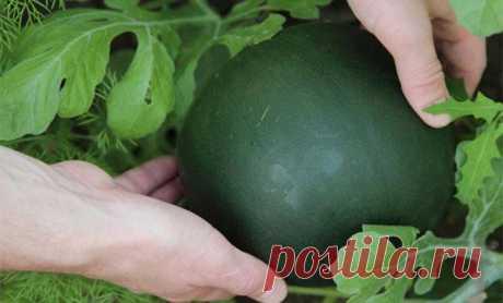 Правила выращивания арбуза сорта огонек в открытом грунте и теплице, уход