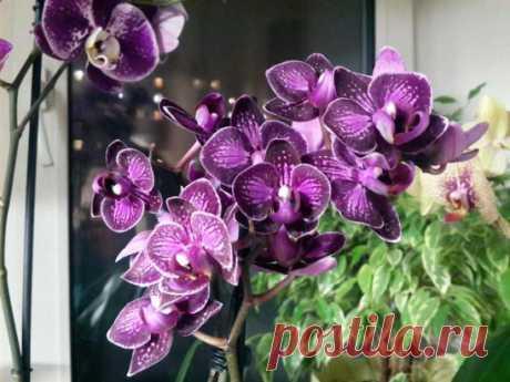 ОБРЕЗАЕМ ПРАВИЛЬНО ЦВЕТОНОС У ОРХИДЕИ.. сохраните заметку..!!.. Цветущая орхидея сможет стать украшением любого помещения. Однако уход за орхидеями требует определенного внимания и знаний, тогда они будут радовать на протяжении долгого времени. Одним из нюансов в обращении с некоторыми видами орхидей, например, орхидей фаленопсис, является формирование цветоносов.