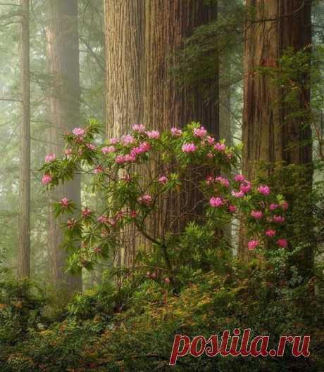 Редвуд Национальные и государственные парки — парк в штате Калифорния, США. Находится к северу от Сан-Франциско.