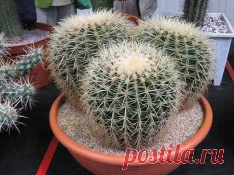 Эхинокактус Echinocactus   Семейство кактусовых. Древнейший род, включающий в себя порядка 10 видов крупных шаровидных кактусов. Размеры их настолько велики, что в культуре распространение...