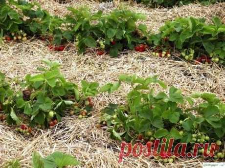 4 крутых удобрения для земляники садовой — Садоводка