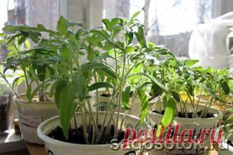 Экономный способ выращивания рассады томатов | 6 соток