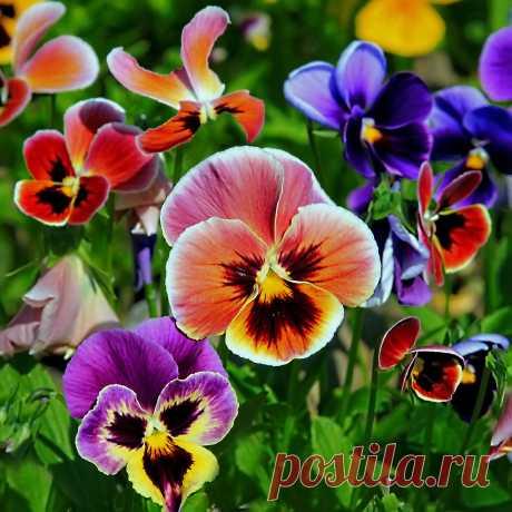 Анютины глазки- цветочки из сказки....