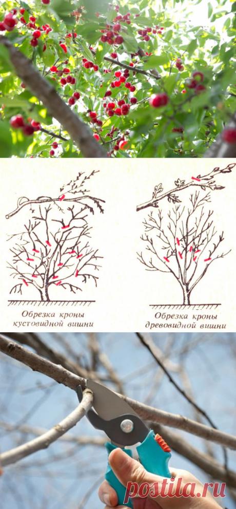 Обрезка вишни: когда обрезать, обрезка весной, схема обрезки вишни осенью, кустовой, древовидной, молодой, плодоносящей, старой, уход после обрезки, фото, видео