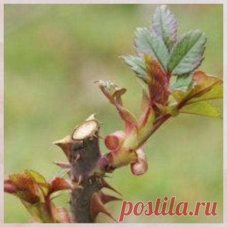 Как вырастить розы из черенков | Татьянино хозяйство. | Яндекс Дзен