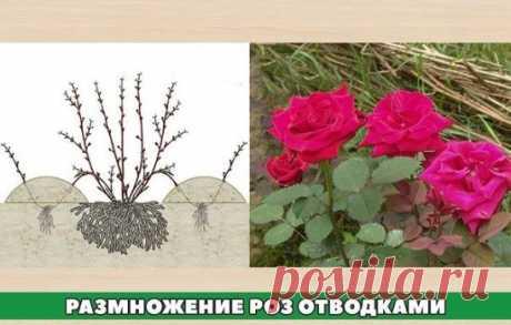 Розы отводками • Один из способов размножения роз – получение их окольцованными горизонтальными отводками. В апреле – начале мая у куста пригибают один или несколько побегов и закрепляют деревянными или металлическими крючками.  У основания окольцовывают их (снимают кору) на ширину 3-5 см. Это место обвязывают полиэтиленовой пленкой в 5-6 слоев, смазав ее с одной стороны тонким слоем садового вара. Во второй половине июня из всех здоровых почек пригнутого побега появляются ростки. Чтобы ускори