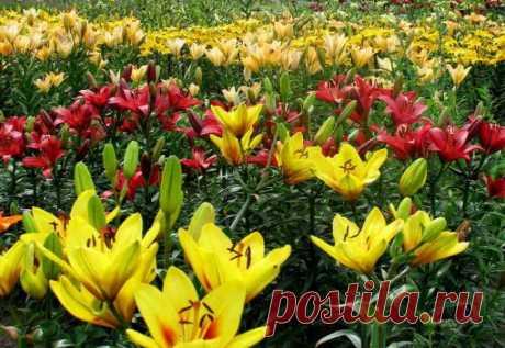 Лилия садовая: посадка и уход в открытом грунте, фото сортов и названия