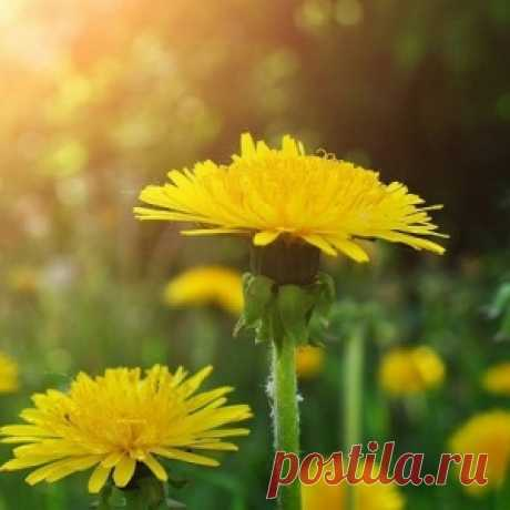 Самое многофункциональное лекарственное растение — одуванчик! - МирТесен