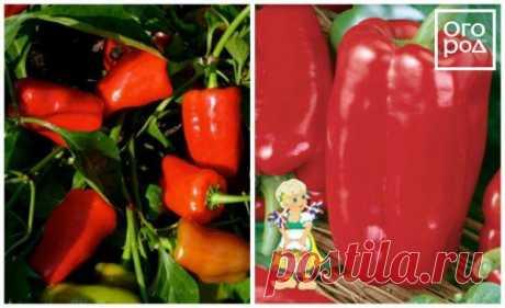 Проверенные сорта толстостенного перца | Перец, баклажаны (Огород.ru)