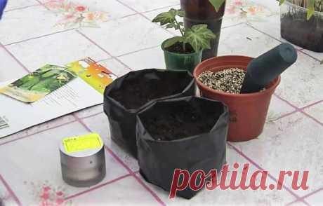 Посев огурцов на рассаду в полиэтиленовые мешочки