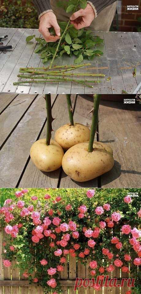 Выращиваем черенки розы в картошке ! Приступаем к процессу : Роем траншею на открытом хорошо освещенном грунте. в защищенном от ветра месте и заcыпаем песок Эта траншея должна иметь одну вертикальную сторону. и около 6 дюймов (15 см) глубины; в которую насыпаем на дюйм или два на дно песок. Летом, в самый разгар цветения, у роз появляются хорошие молодые побеги, которые немного наклонно отрезаем секатором. Желательно выбирать побеги толщиной с карандаш , которые более стойко будут...