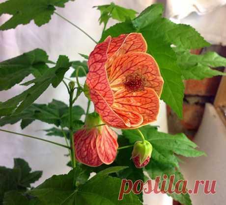 Цветок абутилон - размножение черенками, семенами, видео Абутилон – цветок, быстро растущий в горшечной культуре. Яркий абутилон размножают семенами, а также для получения молодого растения берут черенки, срезанные при формировании кроны.