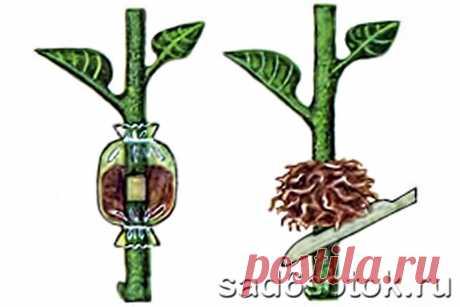 Размножение растений воздушными отводками.