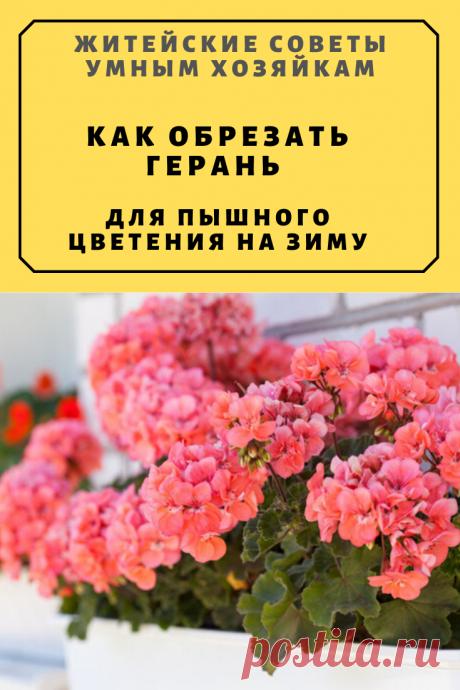 Как обрезать герань для пышного цветения на зиму | Житейские Советы