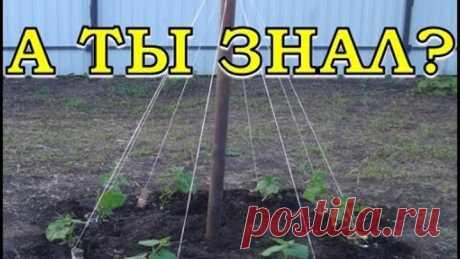 Выращивание огурцов ёлочкой