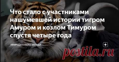 Что стало с участниками нашумевшей истории тигром Амуром и козлом Тимуром спустя четыре года