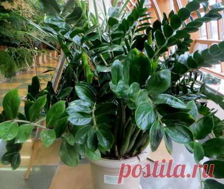 Замиокулькас - уход в домашних условиях. Условия выращивания, размножение. | Растим растения!