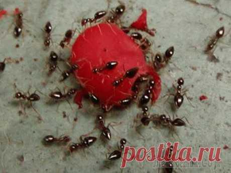 3 способа, как избавиться от муравьев в доме. Это очень легко! От муравьев можно избавиться разными способами. Есть современные химические средства, это карандаши, гели, порошки, но если у вас в доме дети, животные, то лучше всего воспользоваться более щадящими с...