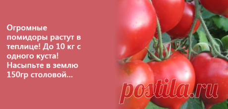 Огромные помидоры растут в теплице! До 10 кг с одного куста! Насыпьте в землю 150гр столовой…