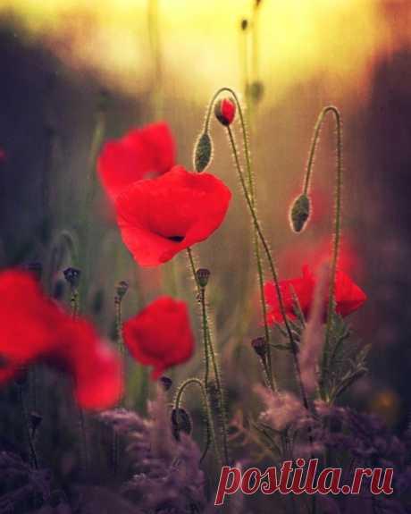 Фламенко танцуют маки в траве. До горизонта степи в огне.... Солнце бросает лучами свой жар... Это не степь! Это маков пожар!  © Copyright: Зарина Морская