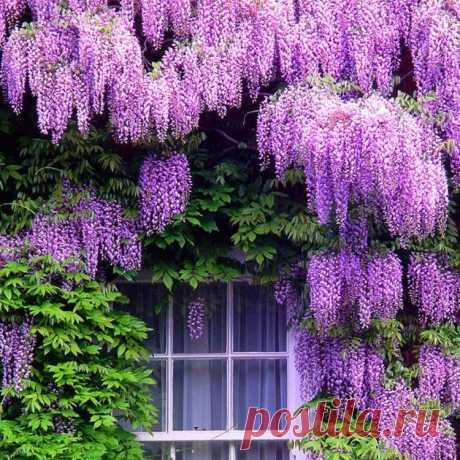 цветущие лианы для сада фото и названия для средней полосы россии: 6 тыс изображений найдено в Яндекс.Картинках