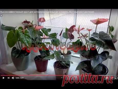 Высокоэффективный грунт для антуриума в домашних условиях, быстрый рост растения