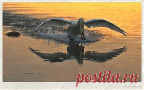 мои фото лебедей