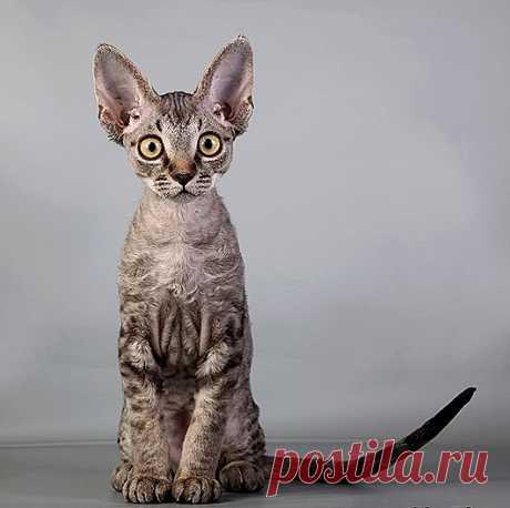 Самые удивительные породы кошек: Девон рекс