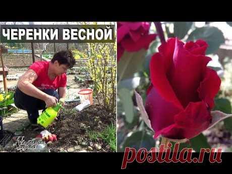 Черенки роз весной пошли в рост  Как ухаживать чтобы они не погибли