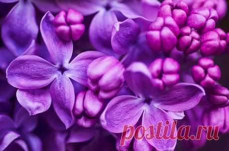 Color of a lilac
