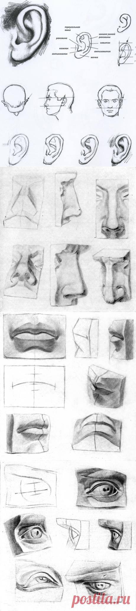 Анатомия – голова (часть 3)   Happy Talant News