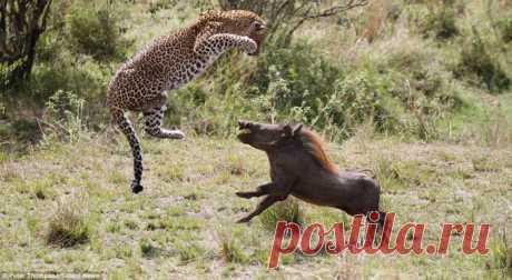 Виртуозы охоты: летающий леопард от Питера Томпсона (Peter Thompson)