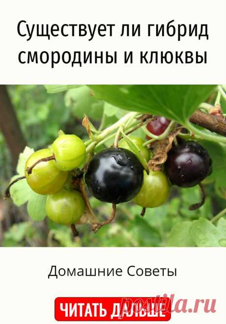 Существует ли гибрид смородины и клюквы