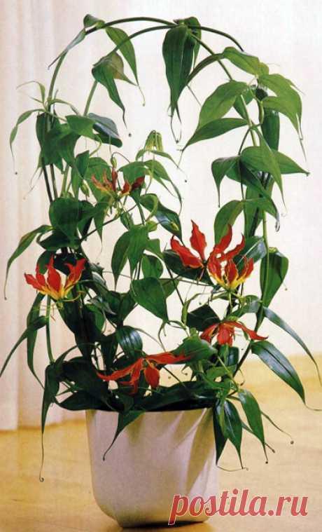 Огненная лилия, или Глориоза роскошная, (Gloriosa superba)