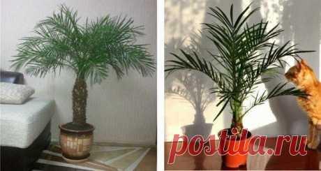 Как вырастить роскошную финиковую пальму из косточки
