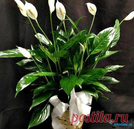 Как ухаживать за цветком Женское счастье (Спатифиллум) Как ухаживать за этим чудо цветком, чтобы он дарил окружающим не только свое красивое цветение, но и смог принести в дом положительные эмоции?