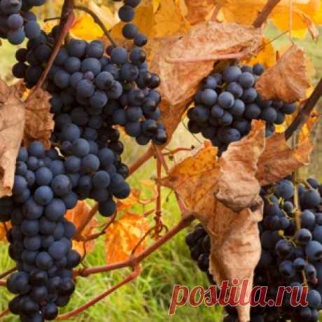 Укрытие винограда на зиму - МирТесен