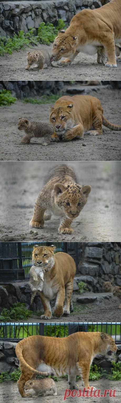 » Малыши лилигрята в Новосибирском зоопарке Это интересно!