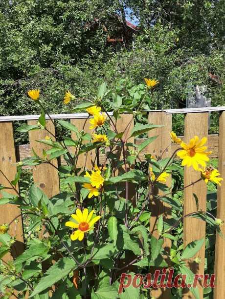 Что украшает мой сад 21 июля. И о новинках   Майя о розах и не только   Яндекс Дзен