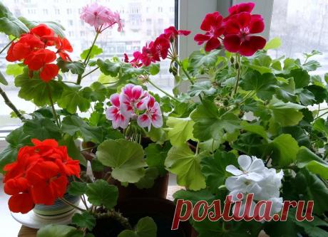 Народное удобрение для герани – после него у меня цветут растения в 2 раза пышнее | 6 соток
