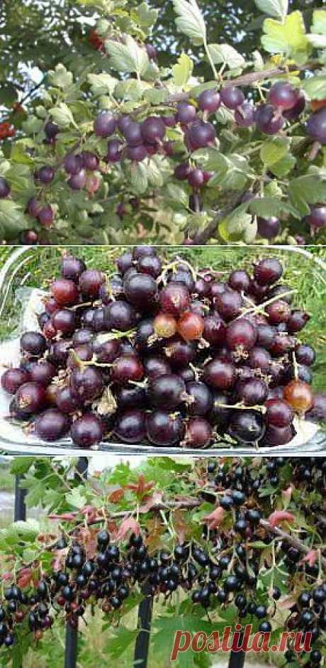 Йошта – отзыв садовода и особенности выращивания | Дача - впрок