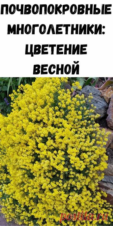 Почвопокровные многолетники: цветение весной - Советы для женщин