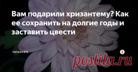 Вам подарили хризантему? Как ее сохранить на долгие годы и заставить цвести | ТАЁЖКА №8 | Яндекс Дзен