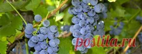 Выращивание винограда в средней полосе России, особенности посадки и ухода для данного региона, в том числе для начинающих
