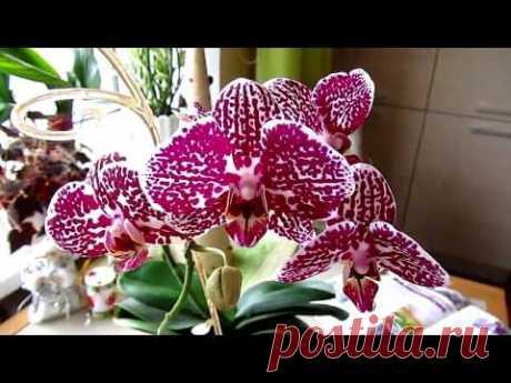Экстренная пересадка орхидеи. Боялась залить, а оказалось...